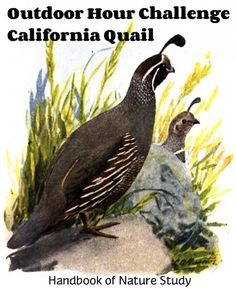Brand New! Information About Birds, Study Ideas, Nature Study, Field Guide, Quail, Homeschooling, Challenges, California, Outdoor