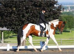 Friesian Cross Mare For Sale in Wisconsin Horse Classifieds, American Saddlebred, Friesian Horse, Clydesdale, Horse Trailers, Horses For Sale, Draft Horses, Horse Love, Beautiful Creatures