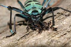 アリ  フィールドワークをしていると、アリが他の昆虫を攻撃したり、死体を運んでいるシーンによく出会います。土場や薪置場では小型のアリが材の割れ目を出入口にして巣を構えていることがあり、ここにカミキリムシが近づくと当然アリから攻撃を受けます。  カミキリムシはいち早く退散し何事も起こらないのが普通ですが、稀に衰弱した個体だとそのままアリの餌食になるケースがあります、   下の写真はどういう経過でこのような事態になったのか分かりませんが、ルリボシカミキリはこの時点ではまだ生きていて、アリは大顎を中心に攻撃を加えていました。  数十分後、アリの数はさらに増え、片方の触覚はすでに割れ目に引きずり込まれていました。