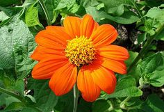 Mexican Sunflower plant