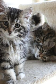 Siberian kittens. Beautiful cats! Hypoallergenic too.