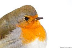 Vögel sind begeisterungswürdige #Fotomotive – das liegt an ihrer Vielfalt, aber auch an ihrem Verhalten. Keine Vogelaufnahme gleicht der anderen, und das macht es zusätzlich so spannend. Tolle Aufnahmen von Vögeln sind kein Selbstläufer – außer der heimische Papagei oder Wellensittich ist das Motiv. #Tierfotografie #Vogel