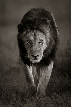 Lion by Tom Way Photography