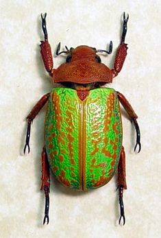Jewel Scarab Rare Beetle Green Orange by REALBUTTERFLYGIFTS, $99.99