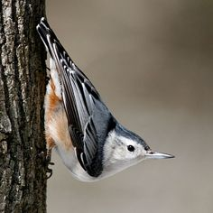 White-breasted Nuthatch loves our maple trees