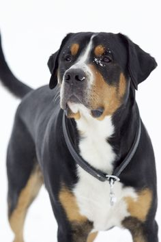 Greater Swiss Mountain Dog. They are just so cute! When we get a dog, it's between this breed and the Bernese!!