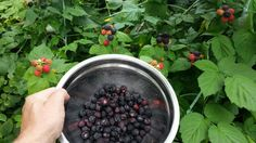 Blackberry picking on the homestead.