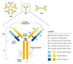 Immunoglobulin Structure Diagram