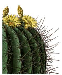 cactus illustration - circa 1873