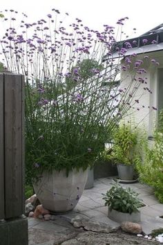 Garden Container gardening Patio garden Plants Backyard garden Garden containers - Potted verbena bonariensis Grows up to tall attracts butterflies perrenial plant from seed indoors first -