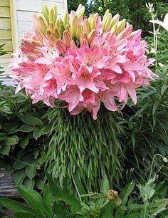 Удивительная лилия, которая имеет 100 цветков на одном стебле....