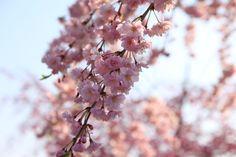 Aichi Prefecture :Suigen Park  April 10,2011