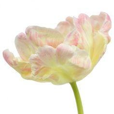 Libretto Parrot Tulip Holex Bloom 350 898639ed