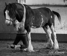Another beautiful draft horse that we have in Luna Caballera's circus company: King, a clydesdale stallion. When King is not with us in the spectacles, he works in the forest with his owner, my neighbor Jean-Marie Nadeau.