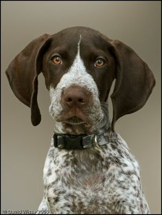 Just want one soo bad!! German shorthaired pointer