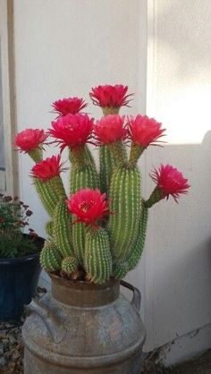 Beautiful Flowers, Big Leaf Plants, Flowers, Pretty Flowers, Cactus Plants, Cactus House Plants, Cacti And Succulents, Desert Plants, Cactus Garden