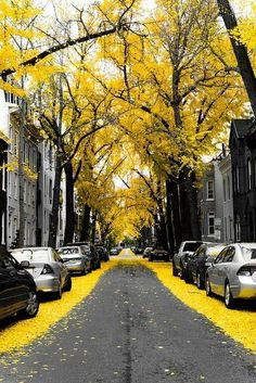 Yellow Ginko Tree Leaves in Washington DC | See More Pictures