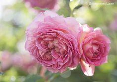 At the Home of David Austin English Roses