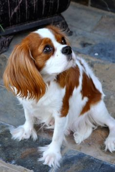 Brooklyn our spoiled rotten Blenheim Cavalier King Charles! Visit us at www.almostfamousdog.com Please like us on FB!