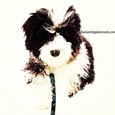Motley a mini bernedoodle from Swissridge kennels.