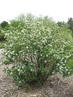 Rounded dense mature Perle Bleu arrowwood