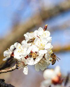#apricot #marillenblüte #wachau #austria #blossom #busybee #bee Busy Bee, Austria, Around The Worlds, Instagram