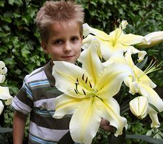 Lilium Big Brother: This splendid new #Orienpet Lily variety offers huge (almost 15in across) trumpets of creamy yellow. Strong, thick stems support the massive blooms. Orienpets (a hybrid of Oriental and Trumpet Lilies) combine the best features of both groups -fragrance, large flowers, and sturdy garden performance -- but bloom about two weeks earlier than most Orientals.