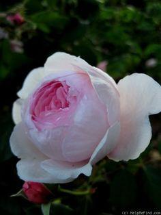 'Geoff Hamilton' Rose Photo