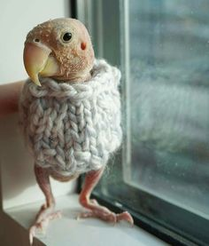 Meet Rhea the Lovebird (aka Naked Birdie) who captured hearts and prompted fans around the world to send sweaters to keep her featherless body warm. Pink Happy Birthday, Dog Birthday, Love Birds, Beautiful Birds, Animals And Pets, Cute Animals, Puffins Bird, Funny Parrots, Tropical Animals