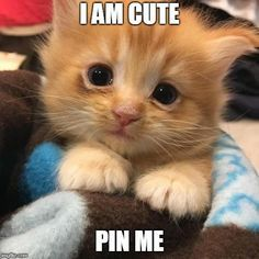 i am cute – Pet Lovers , animal pictures, cat memes, - crazy cats Funny Animal Memes, Cute Funny Animals, Cute Baby Animals, Funniest Animals, Cute Cat Memes, Animals Dog, Kittens And Puppies, Cute Cats And Kittens, Kittens Cutest