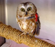 In June, our wildlife team rescued a young injured Northern Saw-whet owl from the Monterey area. In addition to head trauma, the robin sized bird suffered from a retinal tear, which would lead to blindness and therefore an inability to survive in the wild. Thanks to Dr. Gratzek, who donates her services, the owl received a state of the art laser surgery which had never before been performed on an animal.  3 weeks after his surgery, we were able to successfully release him back into the wild.