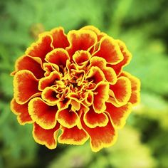 Yellow Marigold Flower  Symbolism • Passion • Creativity • Grief • Jealousy