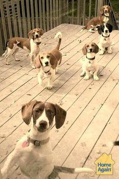 Six little lovebugs! Beagle Dog Breed, Beagle Puppies, Puppies And Kitties, Cute Puppies, Black Beagle, Blue Tick Beagle, Beagle Colors, Beagle Pictures, Cute Beagles