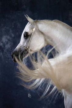 Lovely portrait of a gray Arabian.