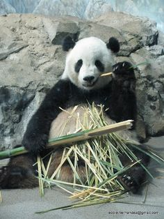 Baby Panda - Washington DC Zoo (Actually got to see baby panda there!)