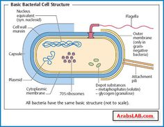 Bacterial cell parts diagram simple electronic circuits prokaryotic cell bacterium smaller simpler structure dna rh pinterest com animal cell diagram bacteria cell ccuart Image collections