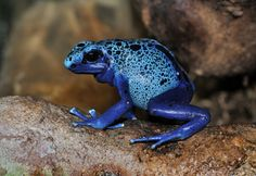 Dendrobates azureus, commonly known as the blue-poison dart-frog or okopipi, is a poison-dart-frog found in the forests surrounded by the Sipaliwini savannah in southern Suriname. Authorities have recently treated it as a variant of Dendrobates tinctorius rather than a distinct species as before. Photo: Quartl