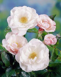 Rose 'Pearl Drift' • Rosa 'Pearl Drift' • Plants & Flowers • 99Roots.com