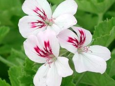 White unique type pelargonium