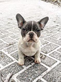 French Bulldog Puppy, Vedi la foto di Instagram di @cocoandgrumpythefrenchies • Piace a 90 persone