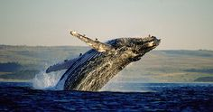 Think whale watching in the Cape and I'll bet Hermanus is the first place that springs to mind. With its cliff-top path, enthusiastic Whale Crier and abundance of other attractions, Hermanus is. South Africa Honeymoon, South Africa Tours, South Africa Safari, Visit South Africa, East Africa, Knysna, Voyage Europe, Destination Voyage, Out Of Africa
