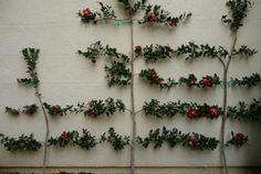Leifruit prachtig tegen de muur