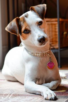 Beautiful Jack Russell girl...Isis Maria S.
