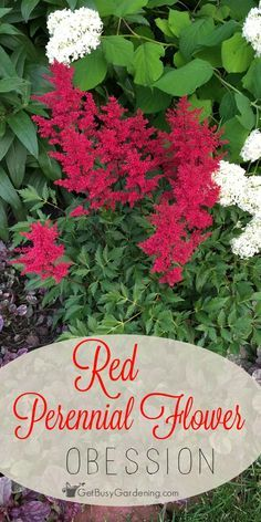 Red looks amazing in any garden. Even a single red perennial flower in a garden…