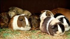 Looking for ways to keep a guinea pig warm during the colder months? Here are 18 tips to get you started.