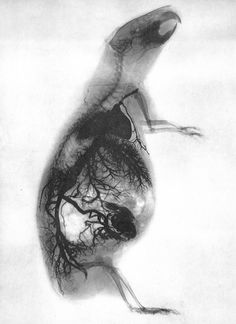 X-Ray of Guinea pig  Photographer: Gaston Contremoulins, Paris 1896.