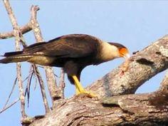Aves de Rapina [parte 1]...Águias, Gaviões e Falcões!!! - YouTube