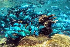 My Maldives, by Andrew ( Harry ) Harrison  ·   ·  Parrotfish grazing on the reef top.