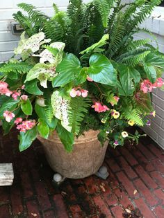 Caladiums, Begonias and Ferns for Sahde