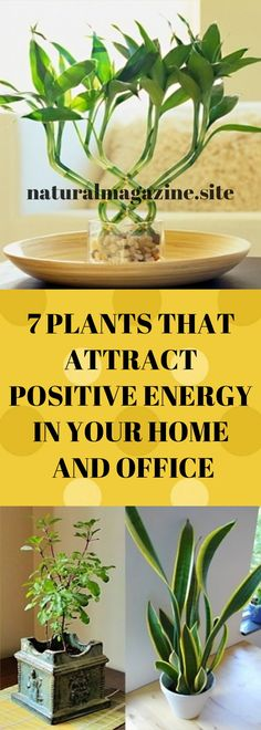 7 PLANTS THAT ATTRACT POSITIVE ENERGY IN YOUR HOME AND OFFICE – HEALTHY LIFESTYLE MAGAZINE
